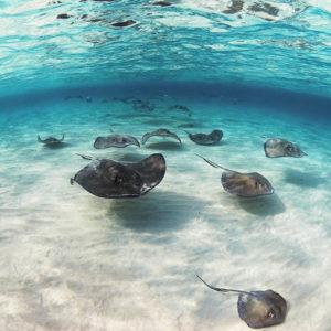 Squadron of Southern Stingrays, Dasyatis americana | Rum Point Channel, Grand Cayman Island