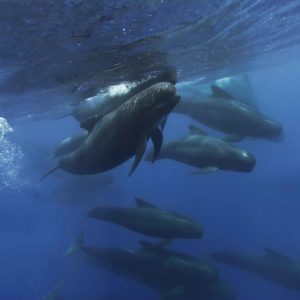 Long-finned Pilot Whale pod, Globicephala melas | Shipping Lanes, Strait of Gibraltar