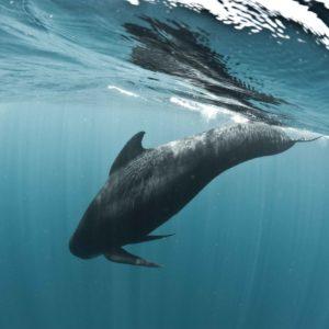 Long-finned Pilot Whale, Globicephala melas | Shipping Lanes, Strait of Gibraltar