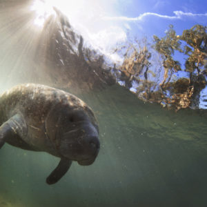 Manatee, family Trichechidae, genus Trichechus | Crystal River, Florida, USA