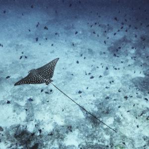 Spotted Eagle Ray, Aetobatus narinari | Maldives