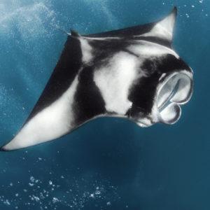 Reef Manta Ray, Manta alfredi |Hanifaru Bay, Maldives Four Seasons, Maldives, Indian Ocean