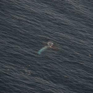 Aerial shot of a Blue whale feeding on Krill off the San Diego coast