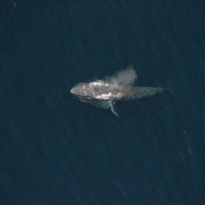 Aerial shot of a Blue whale  off the San Diego coast