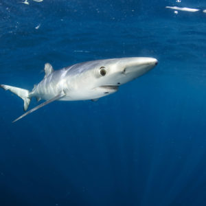 Blue shark, Prionace glauca | Off Cape Point, South Africa