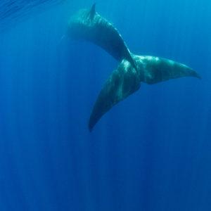 Fin Whale, Balaenoptera physalus   Mediterranean Sea