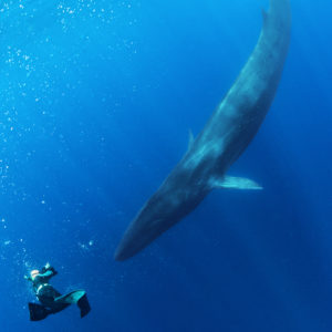 Fin Whale, Balaenoptera physalus | Mediterranean Sea