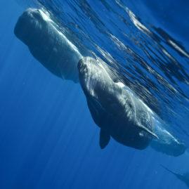 Sperm Whales | Sri Lanka