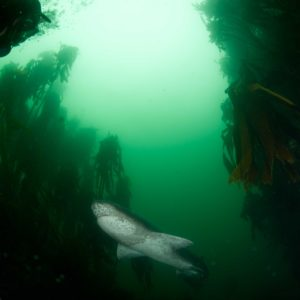 Sevengill shark, Notorynchus cepedianus | Simonstown, Cape Town – South Africa