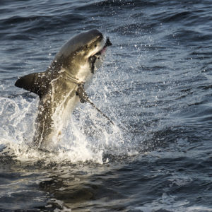Great White Shark, Carcharodon carcharias | Simon's Town, Cape Peninsula, South Africa