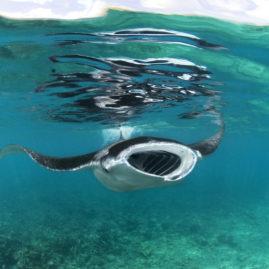 Manta Rays | Maldives