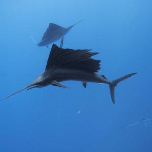 Sailfish and baitball, Istiophorus albicans | Isla Mujeres, Mexico