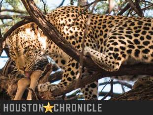 Houston Chronicle | On safari, in Botswana's Okavango Delta